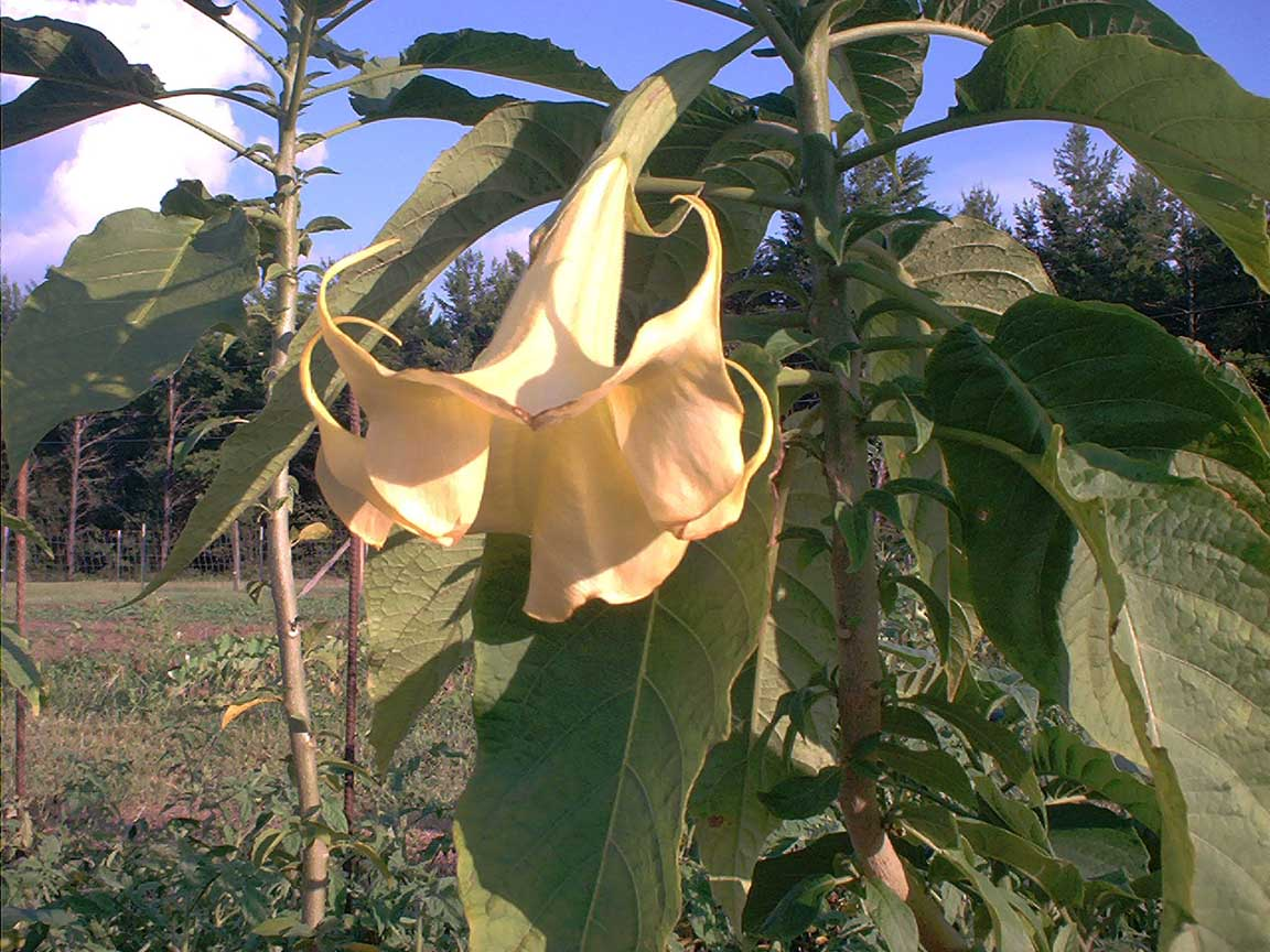 Brugmansia 'Afterglow'