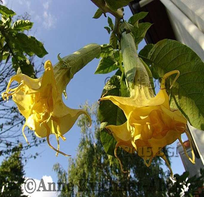 Brugmansia 'Angels Golden Dream'