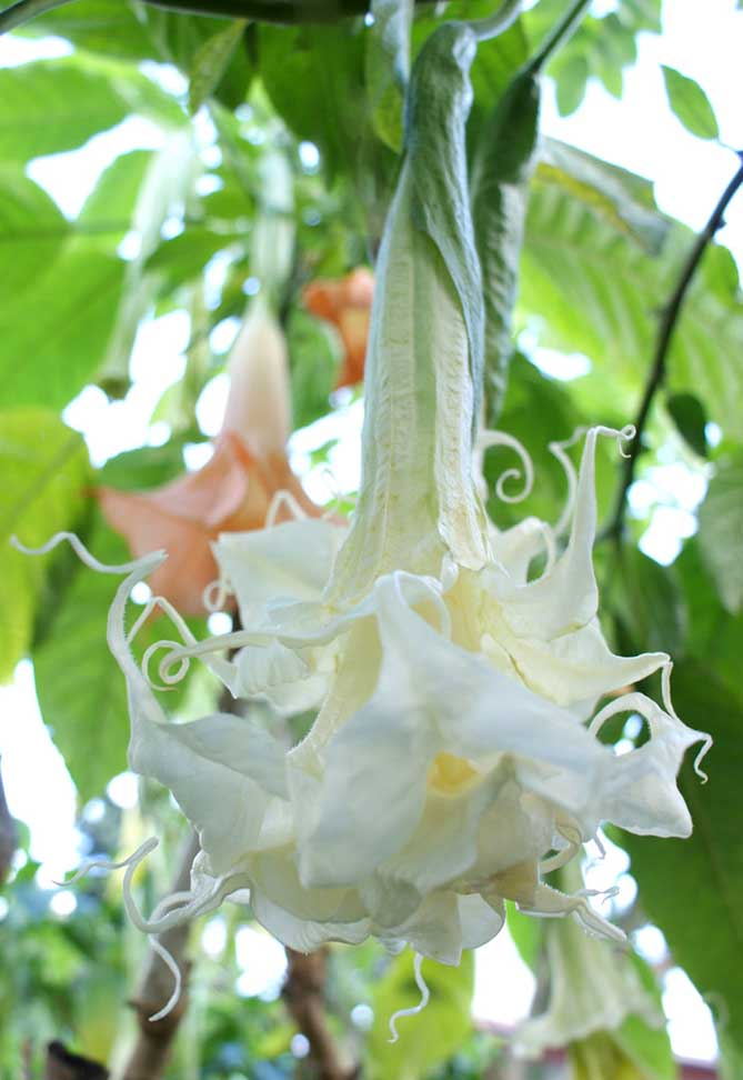 Brugmansia 'Angels Summer Magic'