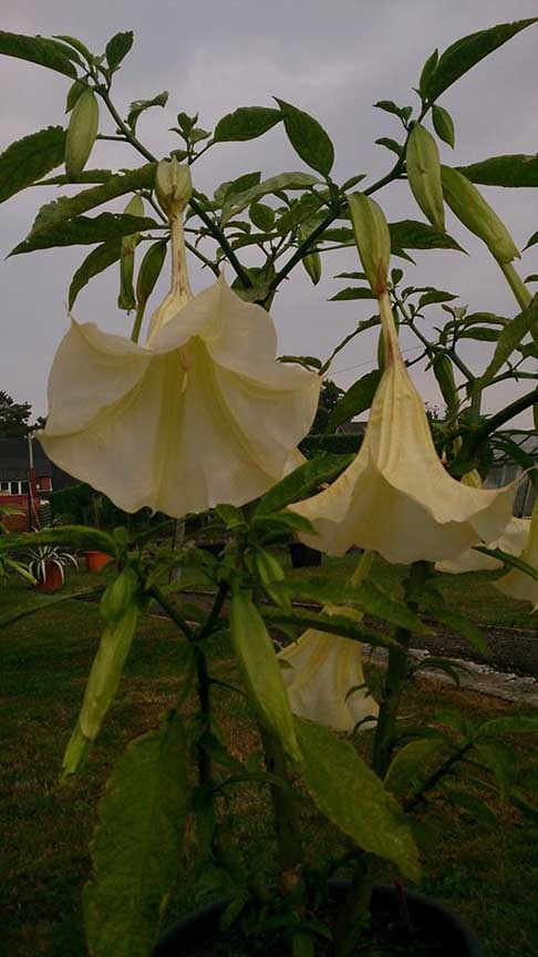 Brugmansia 'Angels Butterface'