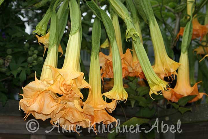 Brugmansia 'Angels Amber Queen'