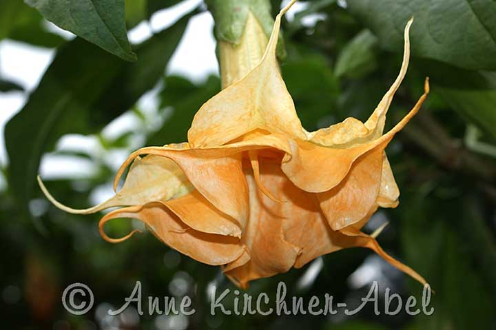 Brugmansia 'Angels Curly Tips'