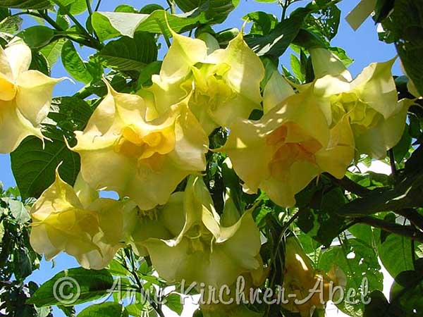Brugmansia 'Angels Face'