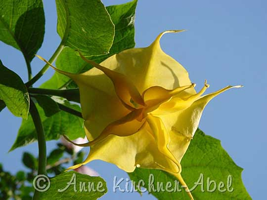 Brugmansia 'Angels Buttercup'