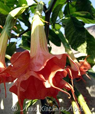Brugmansia 'Angels Big Ben'