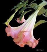 Brugmansia 'Adora'