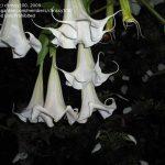 Brugmansia 'Alphonse Mucha'