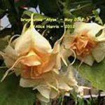 Brugmansia 'Alyse'