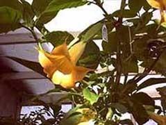Brugmansia 'Amorin'