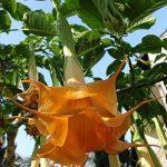 Angels Orange Drop