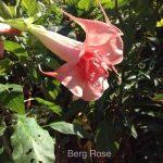Berg Rosé