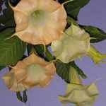 Brugmansia 'Cathedral'