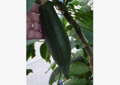 Seed pod of B. x candida
