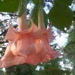 Brugmansia 'Song of Solomon'