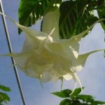Brugmansia 'Southern Charm'