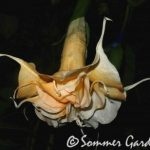 Brugmansia 'Southern Comfort'
