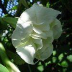 Brugmansia 'Spindrift'