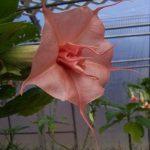 Brugmansia 'Star'