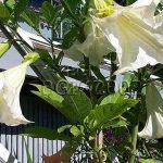 Brugmansia 'Suaveolens Blanc'