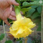 Yellow Sapphire_1