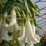 Brugmansia 'Abilion Bells'