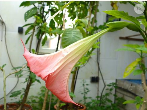 Brugmansia 'Pink Limeade'