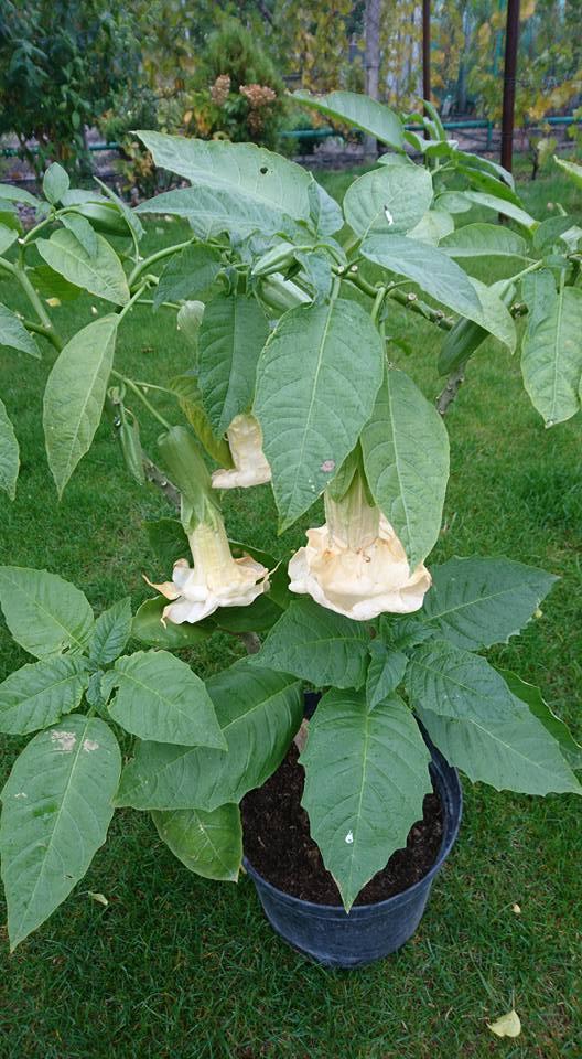 Brugmansia 'White Caramel'
