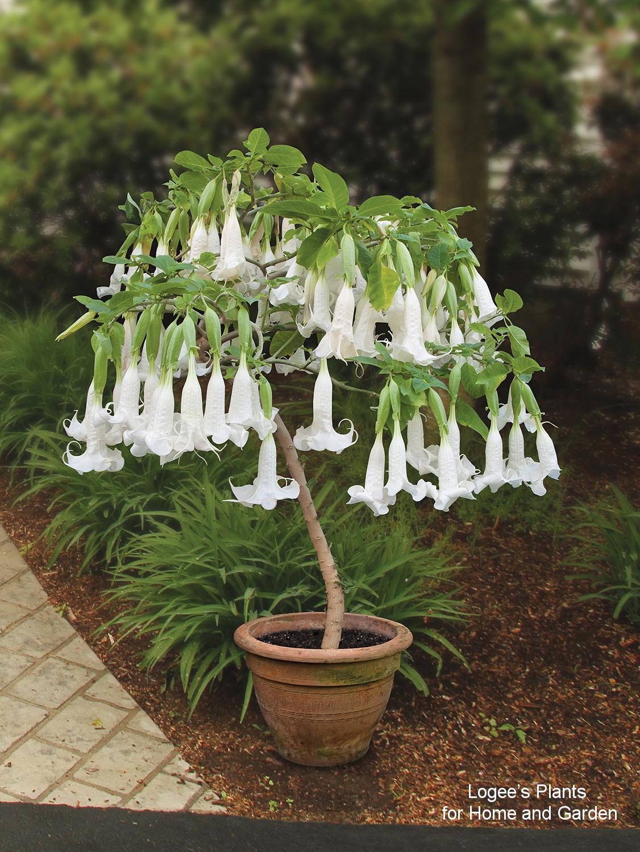 Brugmansia 'White Cascade'