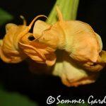 Sommer Sunburst (2)