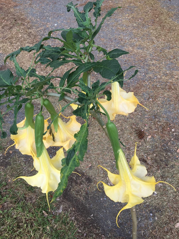 Yellow Colibrí